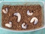 カブトムシ幼虫 No.1
