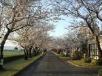 西小前桜並木